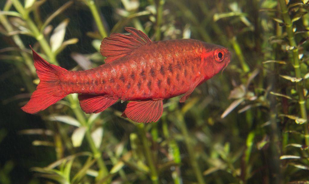 Cherry Barb - ikan hias yang tidak galak