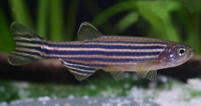Zebra Danio Minnow - ikan hias cantik tapi murah