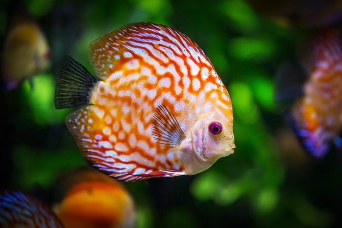 discus - ikan hias kecil bergerombol