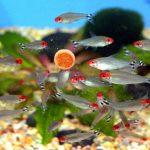 rummy_nose tetra - ikan hias kecil bergerombol