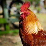 9 Manfaat Daun Sirih untuk Ayam yang Jarang Orang Tahu