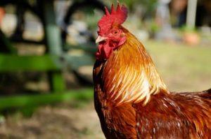 manfaat daun sirih untuk ayam