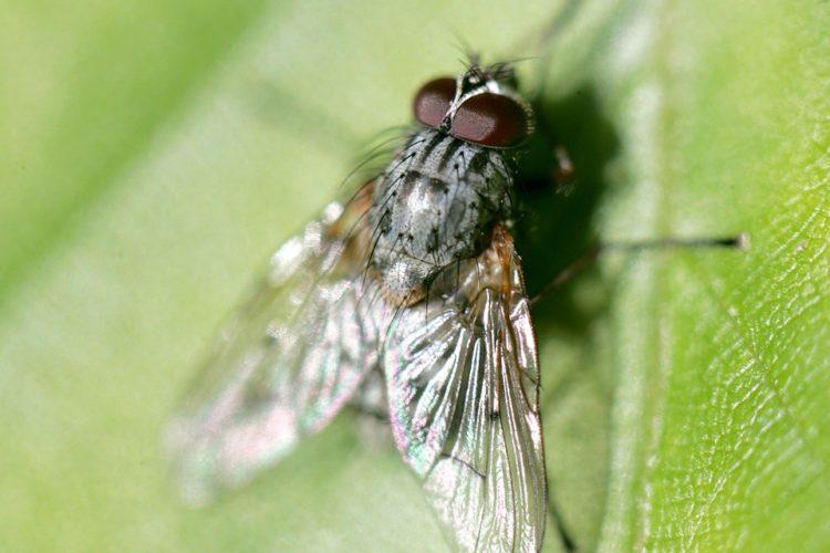 cara mengusir lalat dari rumah