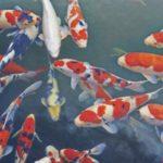 Cara Merawat Ikan Koi dengan Benar untuk Pemula