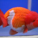6 Cara Memelihara Ikan Mas Koki untuk Pemula
