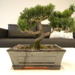 5 Cara Merawat Tanaman Bonsai dalam Ruangan
