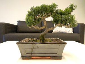 cara merawat tanaman bonsai dalam ruangan