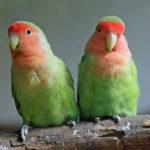 Cara Ternak Lovebird agar Cepat Bertelur Lengkap bagi Pemula