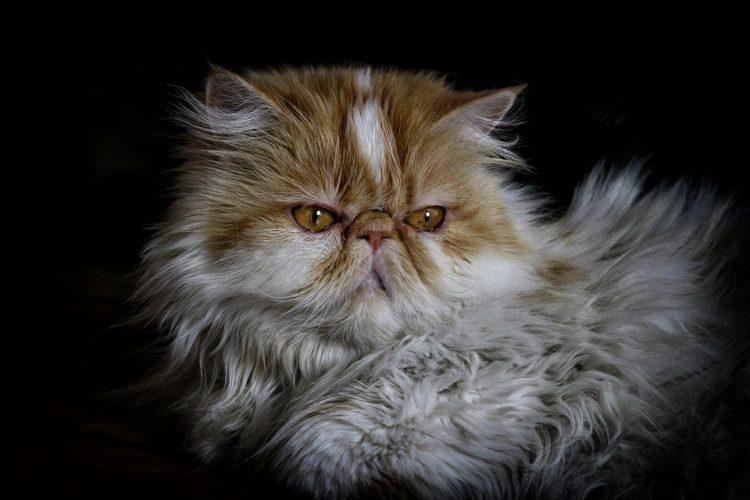 manfaat memelihara kucing di rumah - kucing persia