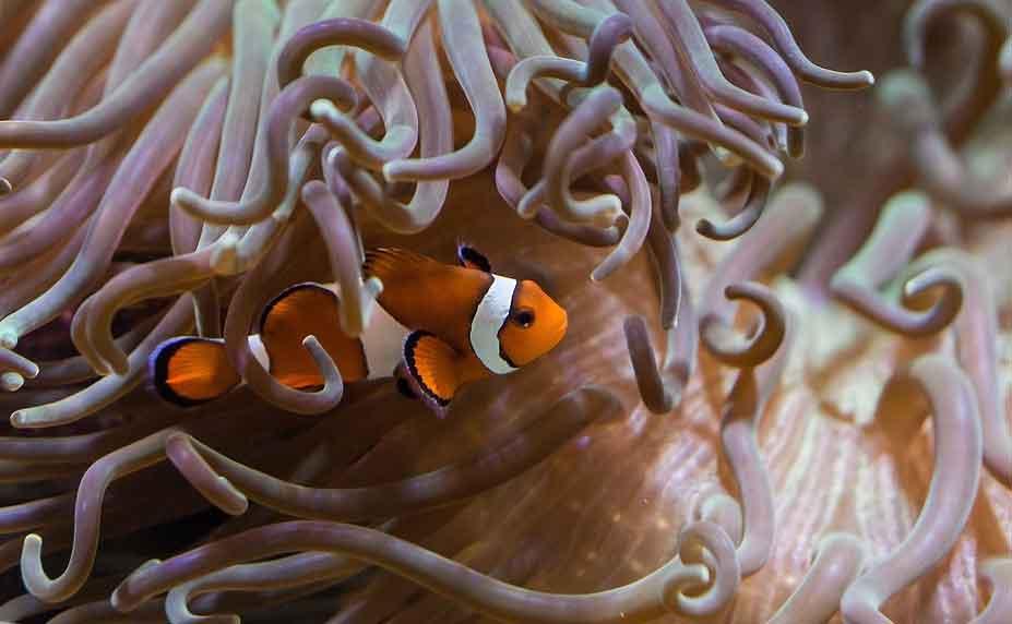 Clownfish-dalam-anemon