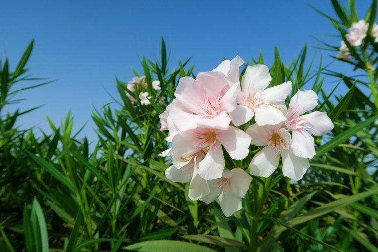 Oleander Putih