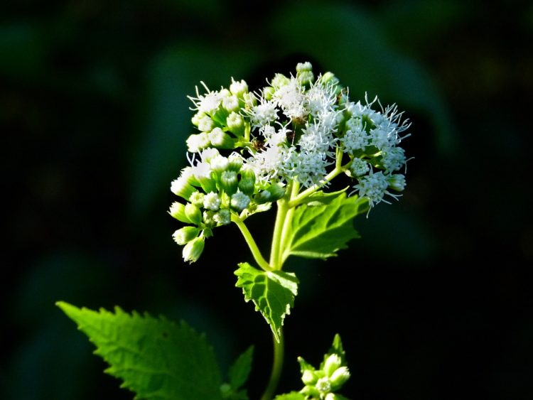 Snakeroot putih - jenis tanaman beracun