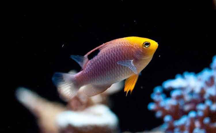 jenis ikan air laut - Talbot Damsel