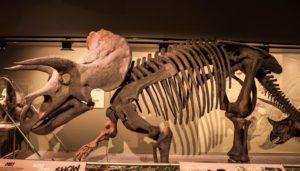 Triceratops - Dinosaurus Herbivora