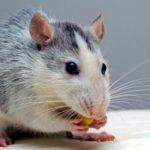 10 Cara Mengusir Tikus di Rumah yang Terbukti Ampuh