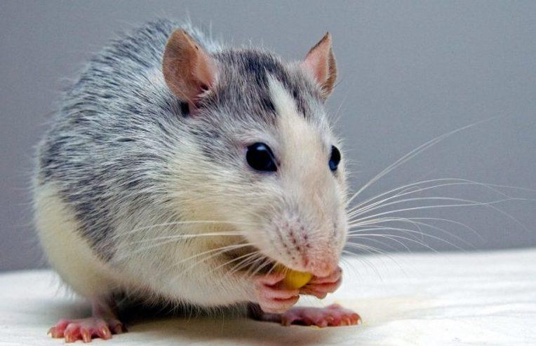 cara mengusir tikus di rumah