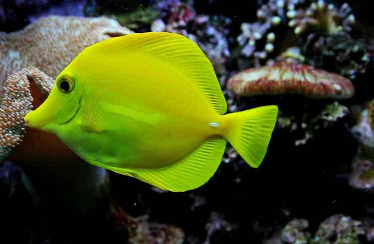 jenis ikan air laut yang mudah dipelihara - yellow tang