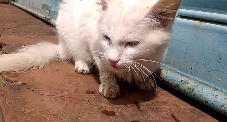 penyakit-rabies-pada-kucing
