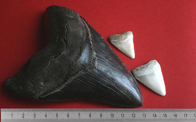 perbandingan fosil gigi megalodon dan hiu putih