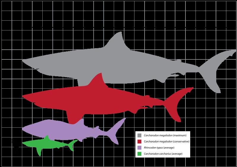perbandingan ukuran hiu