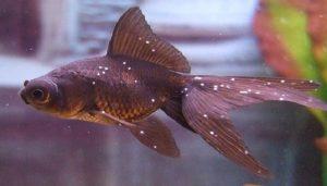 cara mengatasi white spot pada ikan