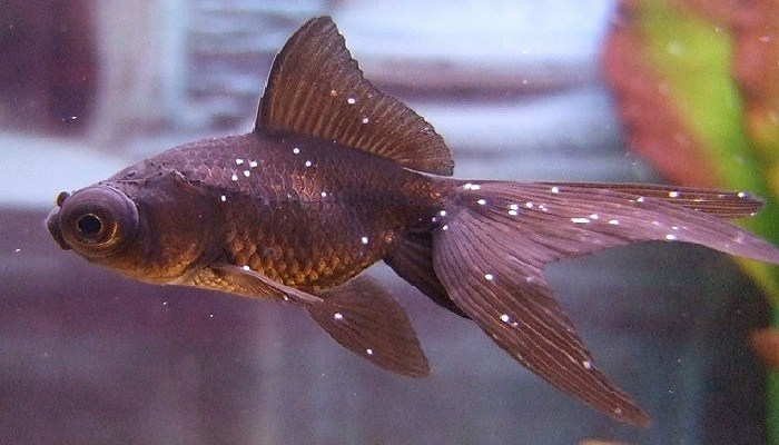 Cara Mudah Mengatasi White Spot Pada Ikan Di Akuarium My Simple Tricks