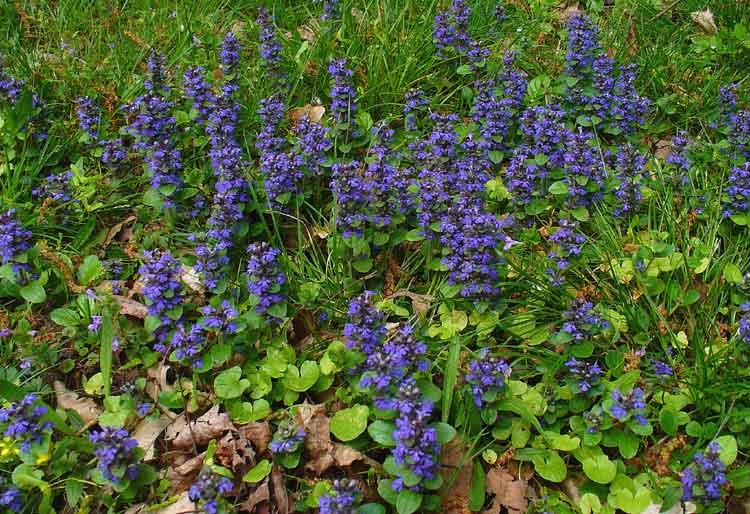 Ajuga reptans bunga berwarna biru
