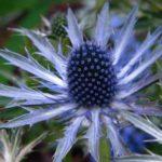 10 Bunga Berwarna Biru yang Mempesona