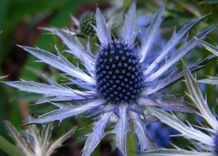 Blue Sea Holly - Bunga berwarna biru