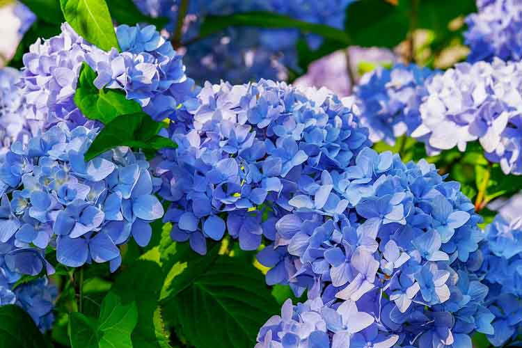 Bunga Berwarna Biru Hydrangea