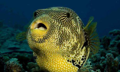 Ikan paling berbahaya - buntal