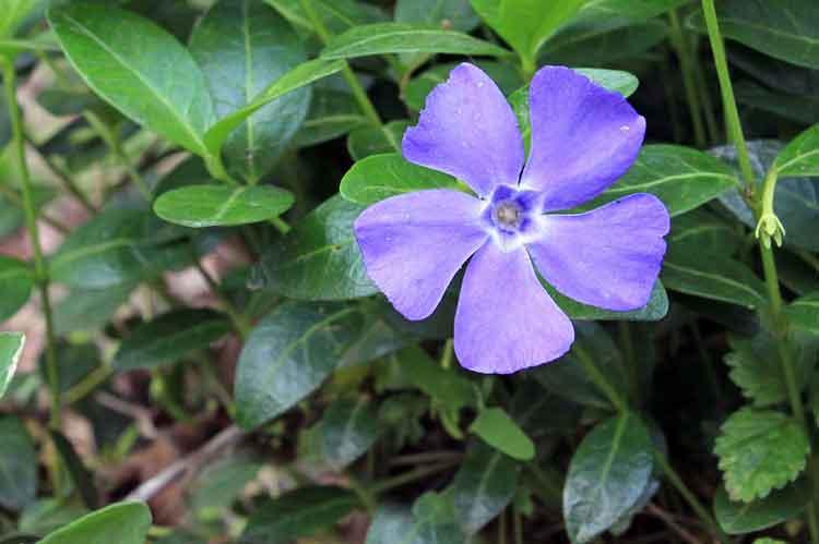 Vinca - Bunga Berwarna Biru