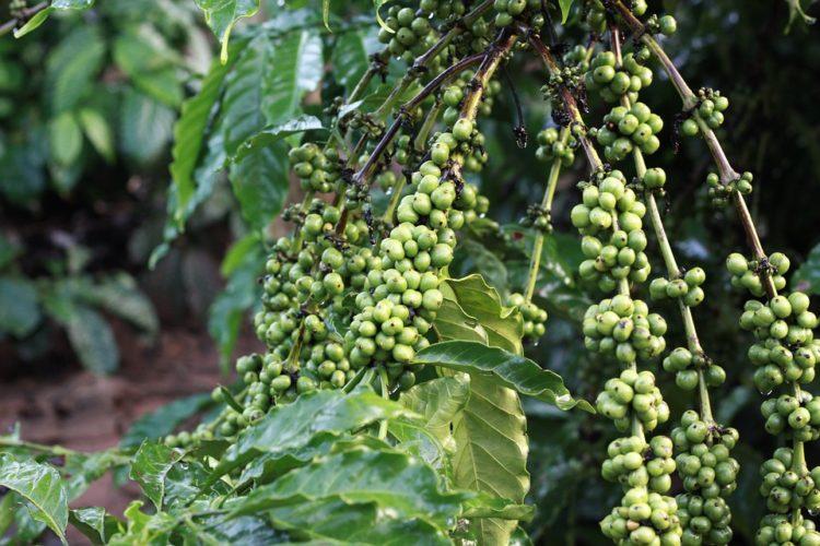 biji kopi hijau