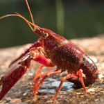 6 Cara Memelihara Lobster Air Tawar di Aquarium