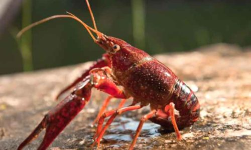 cara memelihara lobster air tawar di aquarium
