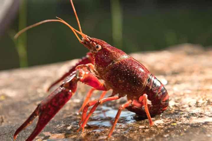 6 Cara Memelihara Lobster Air Tawar Di Aquarium My Simple Tricks