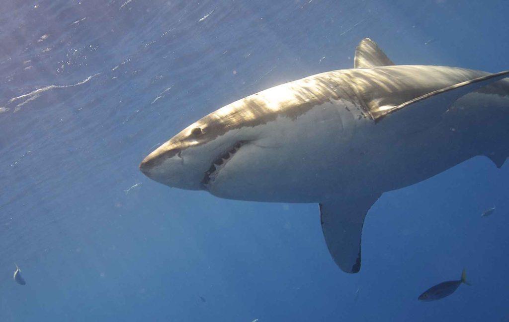ikan paling berbahaya hiu putih