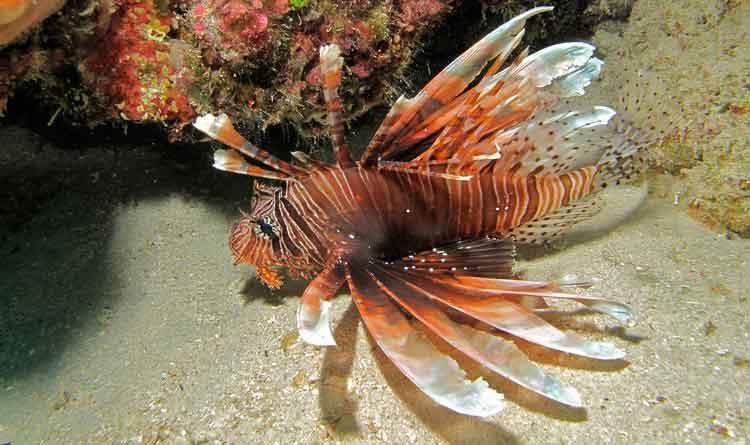 ikan paling berbahaya red lionfish