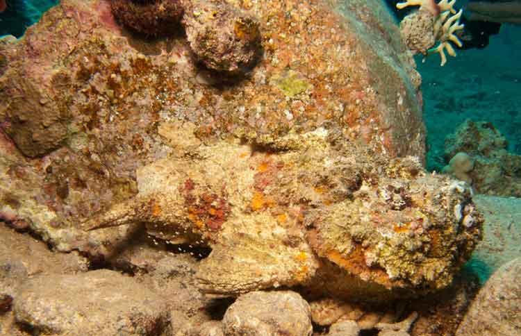 ikan paling berbahaya stonefish