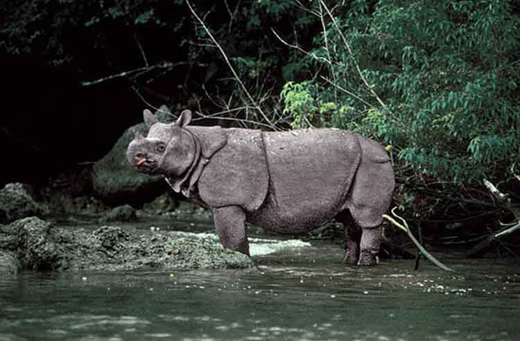 Badak Jawa - Hewan Langka yang Terancam Punah
