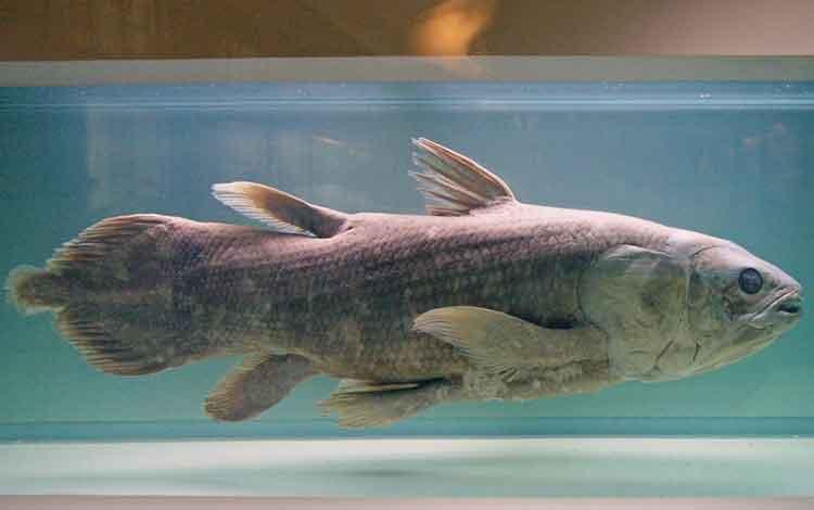Coelacanth - hewan langka yang terancam punah