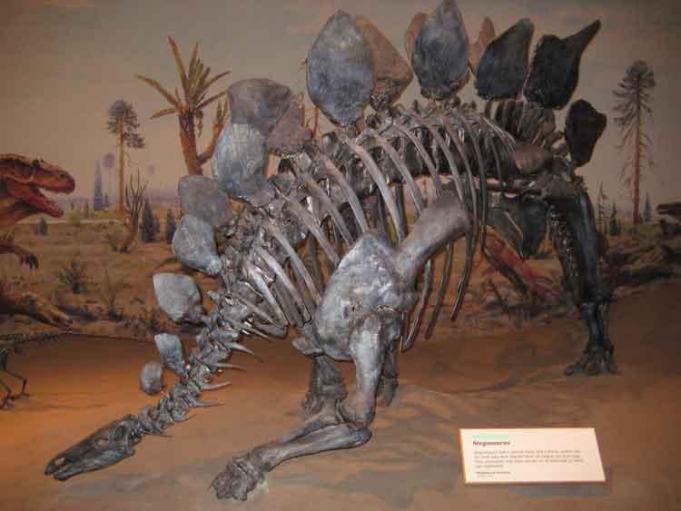 gambar fosil stegosaurus