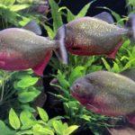 Cara Memelihara Ikan Piranha untuk Pemula
