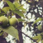 10 Manfaat Daun Jambu Biji untuk Kesehatan yang Ajaib