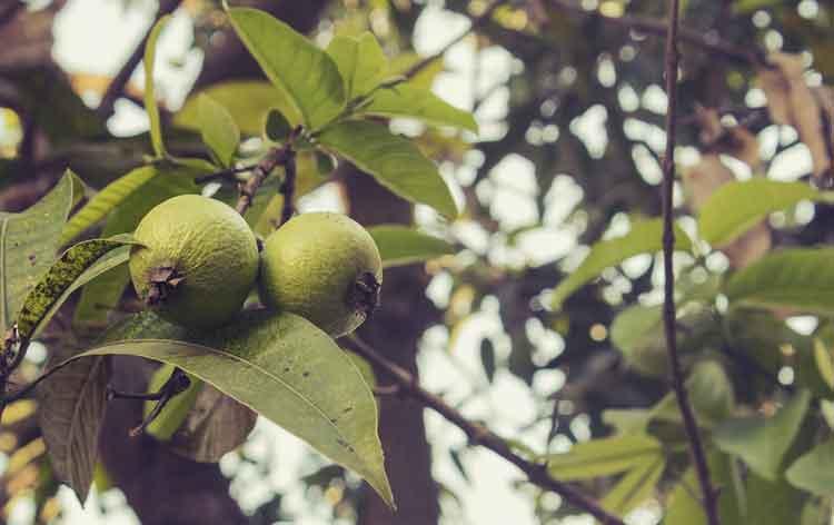 manfaat daun jambu biji untuk kesehatan
