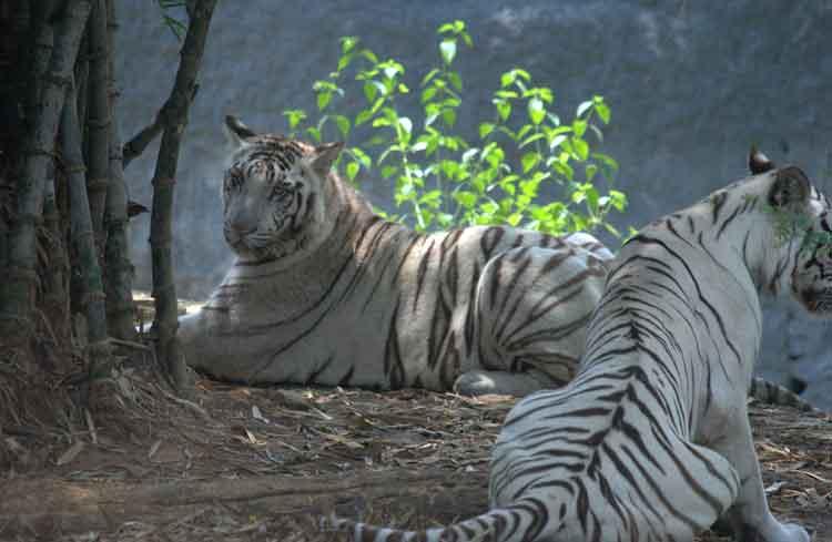 kebun binatang terbesar di dunia - Arignar Anna Zoological Park